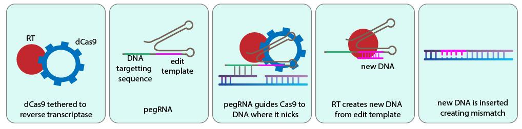 prime editor repairs genome