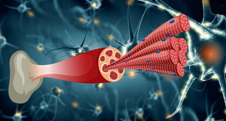 muscle regeneration bioprinting